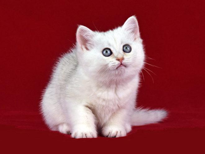 Caty Verso, кошка, окрас ns 11