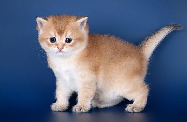 Yliya Fluffy Cats's, кошка, окрас ny 25