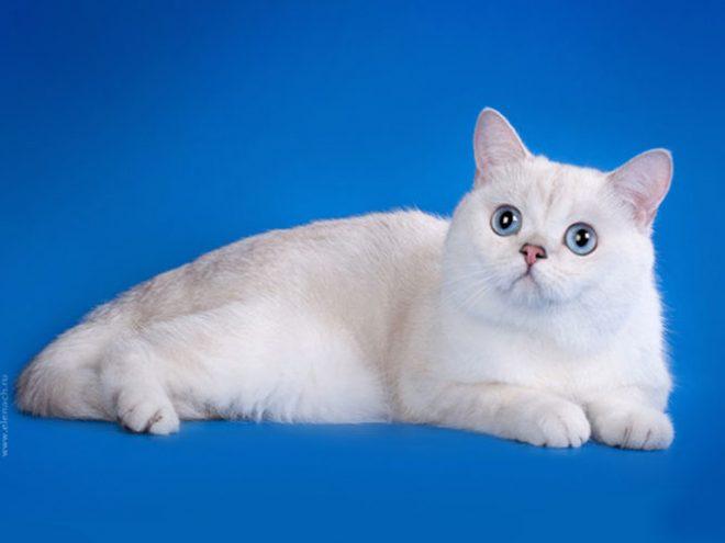 Lara-Cat Iolay, британский серебристый пойнт