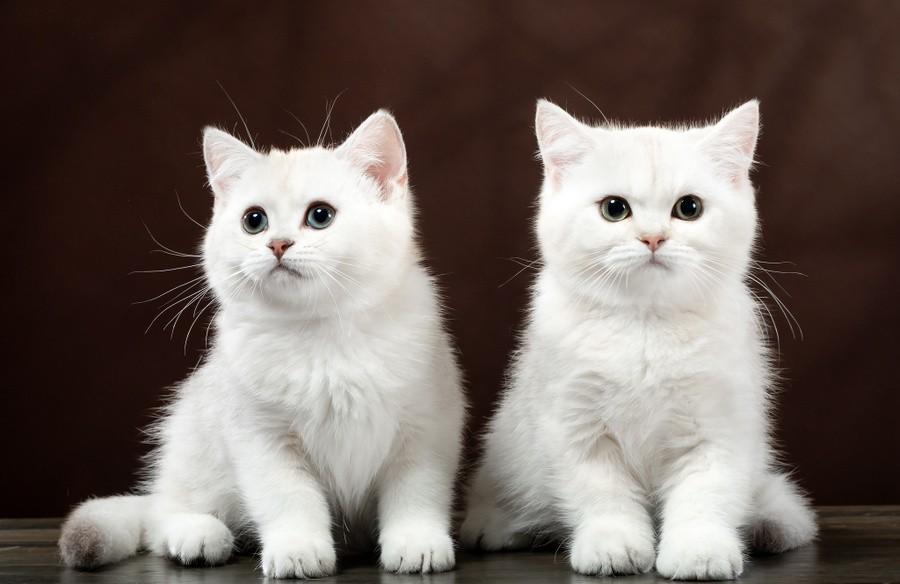 Бритакские котята, окрас шоколадный серебристый затушеванный