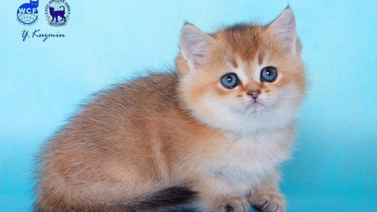 Каспиан, кот, окрас ny 25