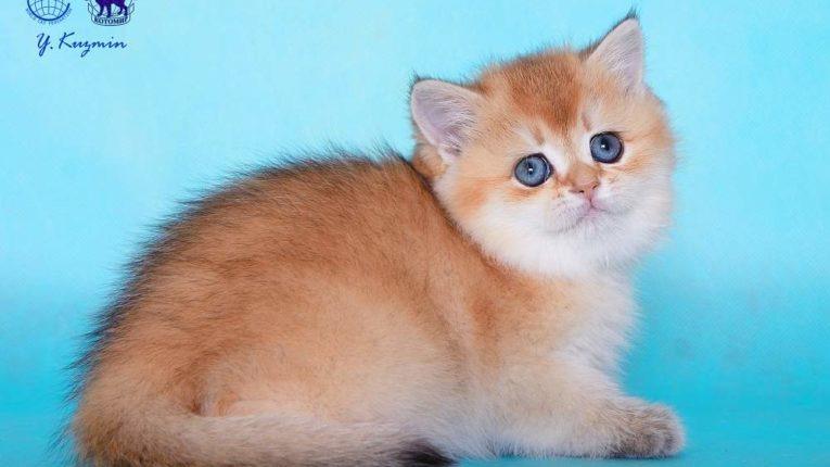 Кэсси Алламбато Дали, кошка, окрас ny 25