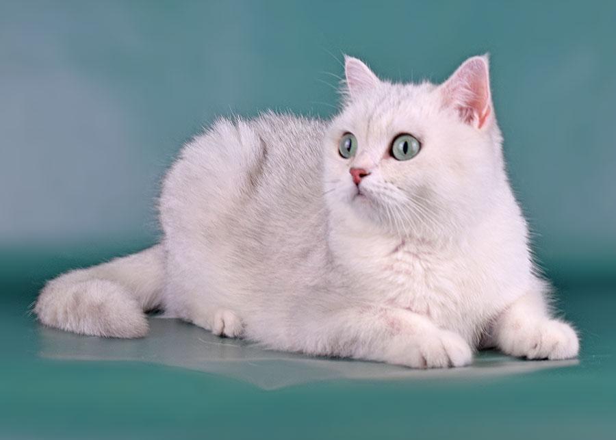 Fluffy Cats's Yusiliya, британская серебристая