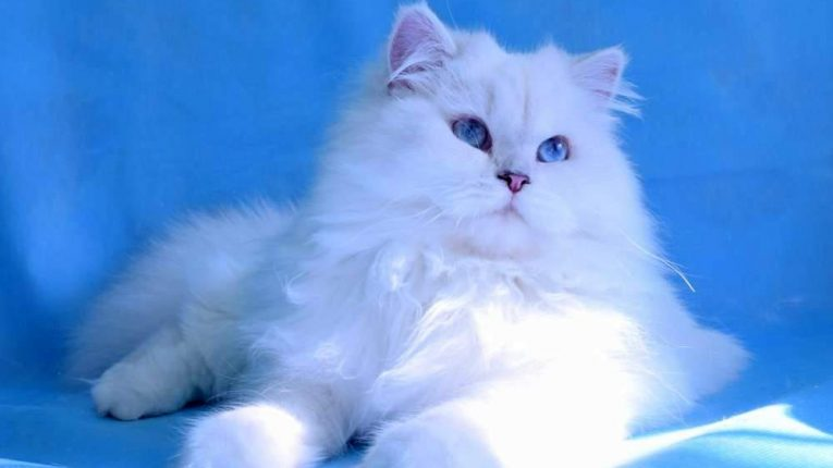 Davina Angelic Maron, кошка, окрас ns 11 33