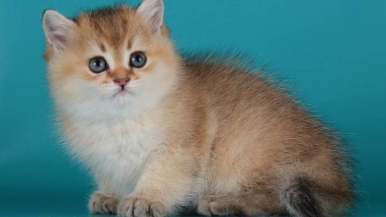 Я долго искала достойного кота для разведения